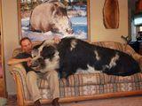Schwein auf der Couch