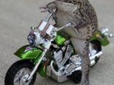 Frosch aufm Motorrad