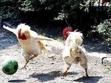 Hühner spielen Fußball