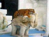 Chilliger Tiger