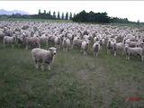 Schafprotest