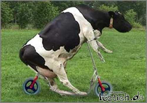 Kuh fährt Roller