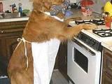 Koch-Hund