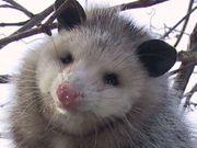 Opossum79