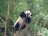 Rollender Panda